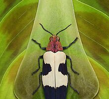 Beetle_Chrysochroa buqueti by Paul Eekhoff