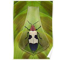 Beetle_Chrysochroa buqueti Poster