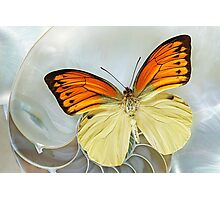 Butterfly_ Hebomoia leucippe Photographic Print
