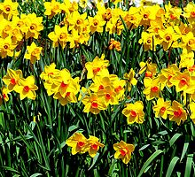 Daffodils in Wales by Les Haines