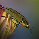 Jewel beetle by jimmy hoffman