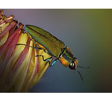Jewel beetle Photographic Print