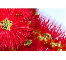 Bees And Bottle Brush Photographic Print