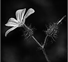Herb Robert in Mono 1 by KMWImages