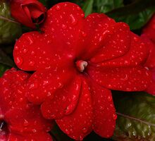 Begonia in Red by Kenneth Hoffman