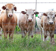 Eat More Chicken~cattle line by Cassandra Scarborough