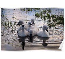 Baby swan lake Poster