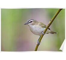 Red-eyed Vireo. Poster