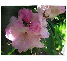 Pink Blush Azalea Poster