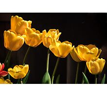 Yellow Tulips: Yellow Is Not Mellow Photographic Print