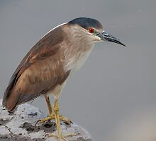 Black-crowned Night Heron (Nycticorax nycticorax): Peek-a-boo by John Williams