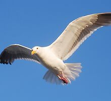 Seagull in Flight by Tori Snow