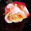1469-BEAUTIFUL ROSE by elvira1