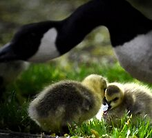 Are Baby Canada Geese Called Canada Goslings? by Sauropod8