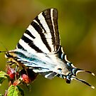 southern scarce swallowtail by Steve Shand