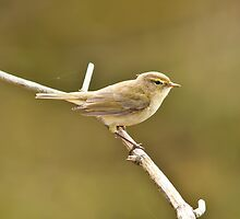 chiff chaff by Steve Shand