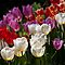 Multiple Tulips