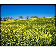 Rapeseed Field (Brassica Napus) Photographic Print