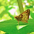 Zabulon Skipper Butterfly - Poanes zabulon - Male by MotherNature
