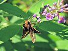Zabulon Skipper Butterfly - Poanes zabulon - Female by MotherNature