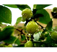 Young green cherries after rain Photographic Print