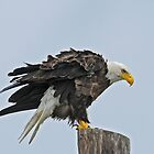 Bald Eagle by photosbyjoe