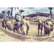 Laughing Camels Photographic Print