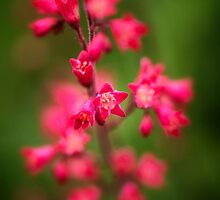 Red Coral Bells by KellyHeaton