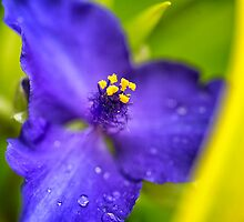 Yellow and Purple Spiderwort Flower by KellyHeaton