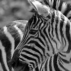Zebra at Riverbanks Zoo by Debbie Moore