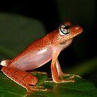 Boophis erythrodactylus  -  Andasibe Madagascar by john  Lenagan