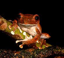 Boophis Madagascarensis  -  Andasibe Madagascar by john  Lenagan