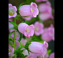 Campanula Medium - Calycanthema Pink - Upper Brookville, New York by © Sophie W. Smith