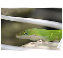 Scaled back Anole Poster