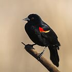 Red-Winged Blackbird by barrach