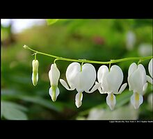 Dicentra Spectabilis F. Alba - Common Bleeding Heart - Upper Brookville, New York by © Sophie W. Smith