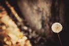 Dandelion by Anne Staub