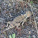 Horny Toad, Cold Springs (Reno) Nevada,USA by Anthony & Nancy  Leake