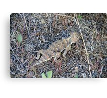 Horny Toad, Cold Springs (Reno) Nevada,USA Canvas Print