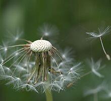 Dandelion. by Hetty Mellink