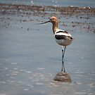 American Avocet by Joe Jennelle