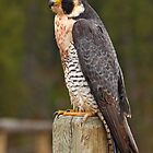 Peregrine Falcon by EagleHunter