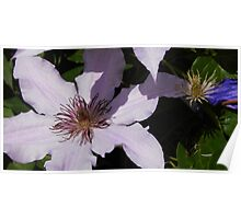 Lavender Clematis Before & After Poster