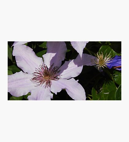 Lavender Clematis Before & After Photographic Print