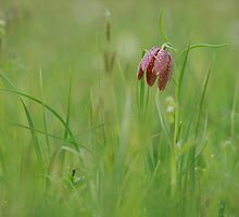 Fritillaria meleagris by miradorpictures