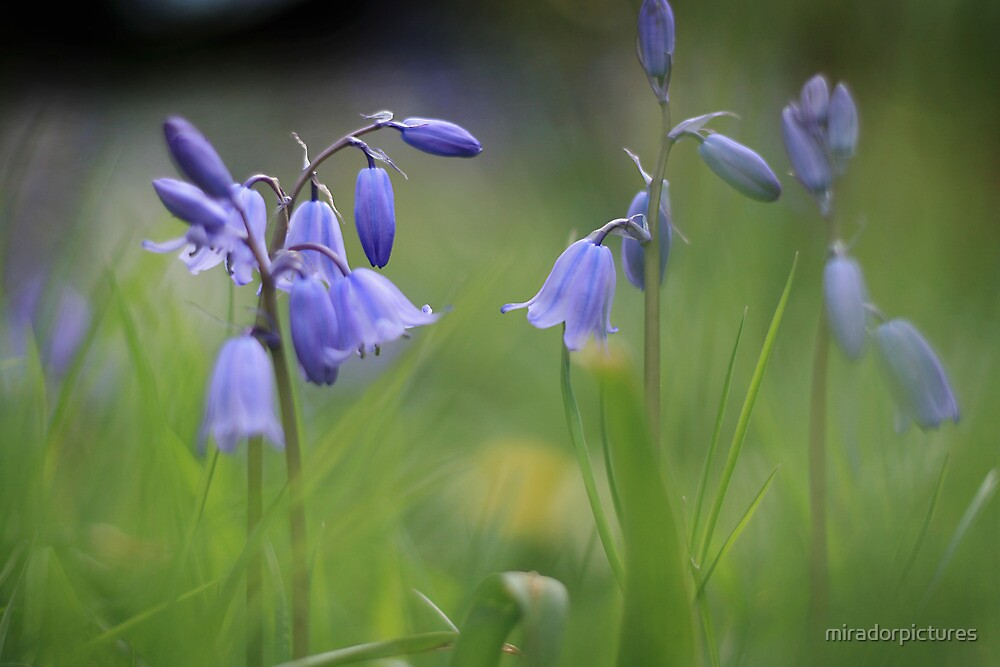 Bluebells at Downton abbey by miradorpictures