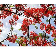 Flamboyant Tree Photographic Print
