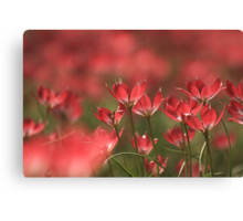 Red heads of tulips at Downton abbey Canvas Print
