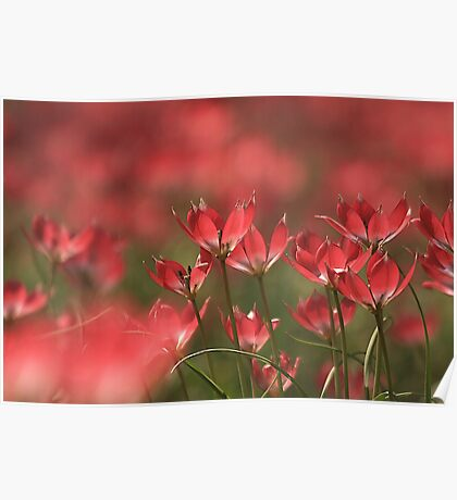 Red heads of tulips at Downton abbey Poster