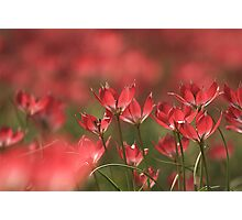 Red heads of tulips at Downton abbey Photographic Print